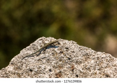 Little lizard on a big rock and blurred background