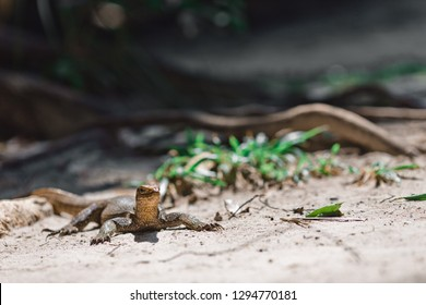 Little lizard in Thailand. Lizard under a large tropical tree on the sand. Reptile basking in the sun.