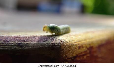 Little looper caterpillar from my garden