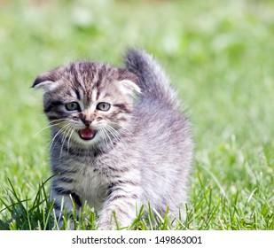 little lop-eared kitten meowing in the grass