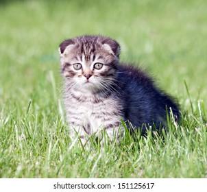 little lop-eared kitten on the grass