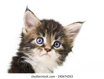Little maine coon  kitten portrait up isolated on white background