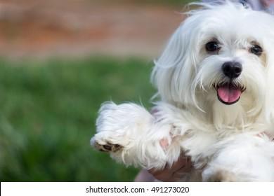 Little Maltese puppy dog smiling