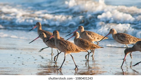 Little Marbled Godwit birds running and feeding on the beach at sunset