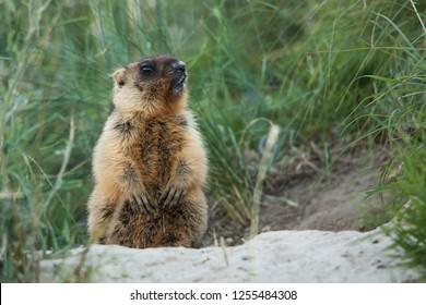 Little marmot bobak sitting beside his hole.