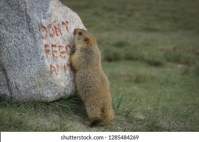 "Little Marmot is standing on the green grasses field with its behind legs and hold a stone which is written that ""don't feed animal"". Marmot lived in green field located in Leh Ladakh."