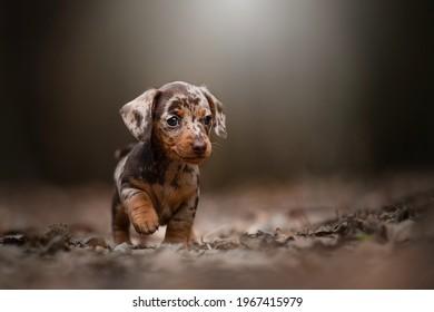Little Merle Dachshund Puppy, puppies of small rabbit dachshund