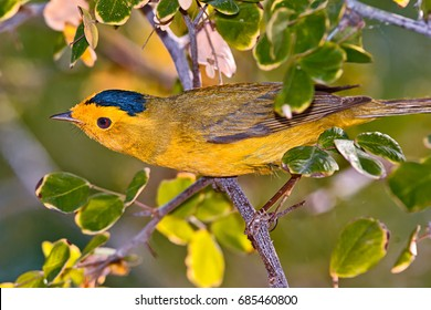 A little migratory bird called a Wilson's Warbler spending the Spring in Arizona.