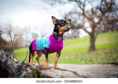 Little miniature pinscher wearing sweater