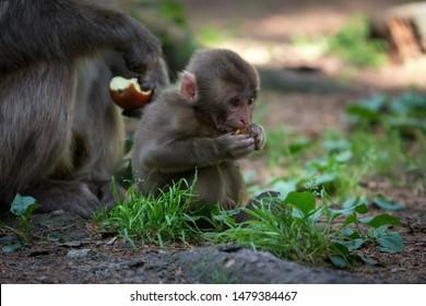 Little monkey baby eating apple