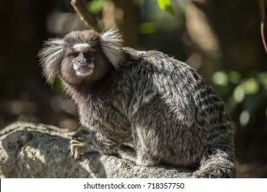 Little monkey native to areas of Atlantic Forest seen on urban trail in the city of Rio de Janeiro. In Rio de Janeiro this type of monkey is called Mico Estrela.