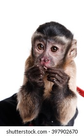 little monkey, a portrait in the studio,  Isolated on white background