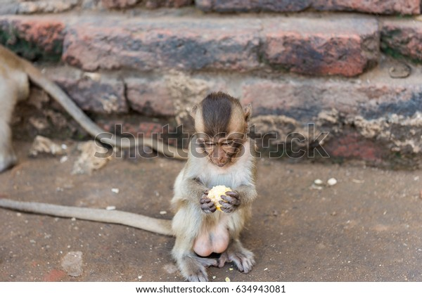 Little monkey sitting and eating corn