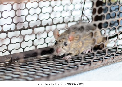little mouse in a metal trap.