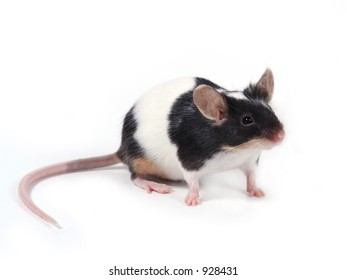 a little mouse on white background