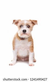 little mutt dog sitting in front of a white background