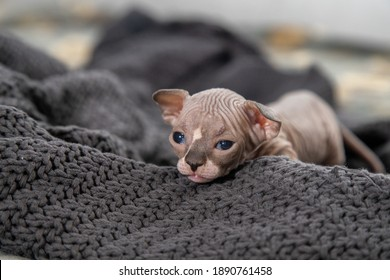 Little naked kittens of Canadian Sphynx (Sphinx) 14 days old playing on the sofa