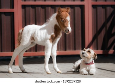 little newborn piebald horse foal mini horse stands next to lying white dog Jack Russell Terrier, horse and dog together