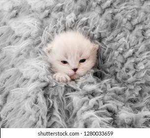 Little newborn white kitten covered in gray blanket