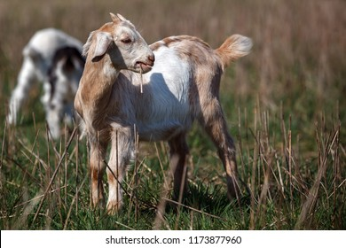 Little, nice, cute nubian goatling in the meadow with straw in the mouth. Look like a cigarette.