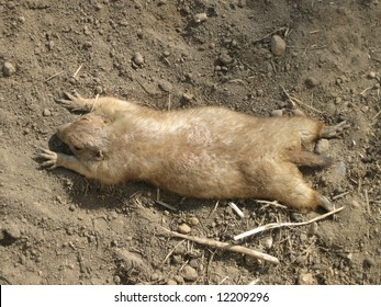 Little nice marmot lying lazy in the sand