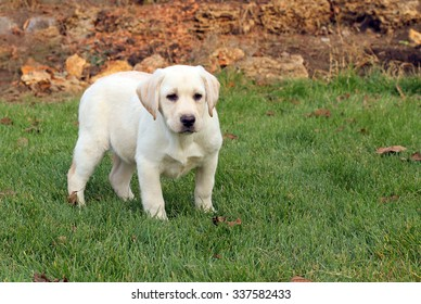 the little nice yellow labrador puppy playing in green grass in autumn