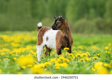 Little Nigerian pygmy goat baby on the field with flowers. Farm animals.