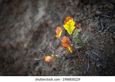 Petite plante de chêne qui pousse. Arrière-plan du coucher de soleil jaune