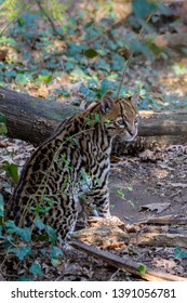 a little ocelot in the forest