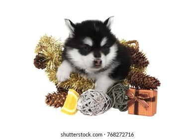 Little One Month Designer Puppy Husky or Small Pomsky Dog In The Basket  With New Year Gifts And Sweets Isolated On White Background.