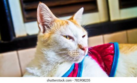 little orange white cat
