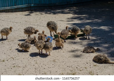 Little ostriches in the ostrich farm in Yasnohorodka, Ukraine