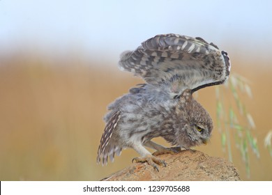 Little Owl Athene noctua. Brown gray plumage barred and mottled with white; rounded wings, short tail and wavy flight; equal sexes.