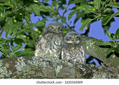 LITTLE OWL athene noctua, CHIK STANDING ON BRANCH NEAR NEST, NORMANDY IN FRANCE