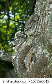 LITTLE OWL athene noctua, CHIK AT NEST ENTRANCE, NORMANDY IN FRANCE