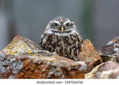Little Owl (Athene noctua) in completely natural habitat, United Kingdom