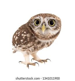 Little Owl, Athene noctua, isolated on white background