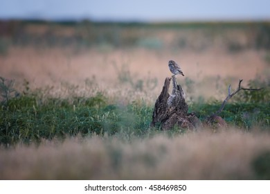 Little owl, Athene noctua in landscape, sitting on branch in typical grassland environment.