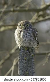 Little Owl (Athene noctua) in natural habitat