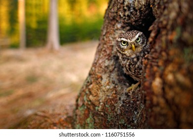Little Owl, Athene noctua, in the nesting tree hole in the forest, central Europe. Portrait of small bird in the nature habitat, Germany. Wildlife scene from dark forest, animal behaviour.