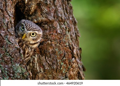 Little Owl, Athene noctua, in the nesting hole, forest in central Europe, portrait of small bird in the nature habitat, Czech Republic.