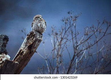 Little owl (Athene noctua) sittin on the ruins of the house in Bulgaria. Small owl in the nature habitat