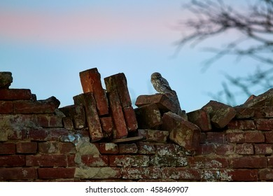 Little owl, Athene noctua  sitting on ruined brick wall against colorful sunset background.