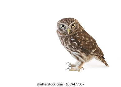 Little Owl (Athene noctua) standing in front of a white background.