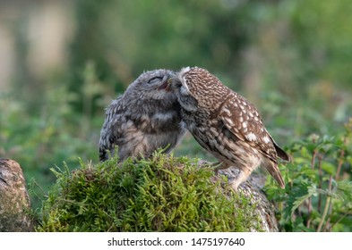Little Owl  ( Athene noctua) Young fledgling bieng fed by parent
