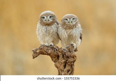 Little Owl: family portrait