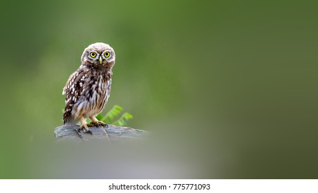 Little Owl foraging in the woods