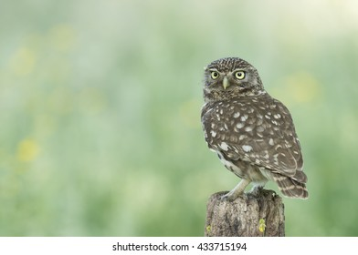 Little owl  in front of a fresh green background - Steenuil - athene noctua