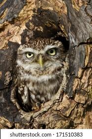 Little owl in a hole in a tree trunk