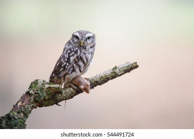 Little owl with hunted mouse prey sitting on tree brunch with blurred background